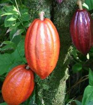 Cocoa farmers advised to form co-operatives